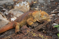land iguana (note the thousands of differences from the marine variety)