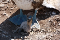 another mom and baby (blue-footed boobie)
