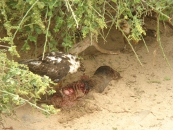 the uglier side of nature (hawk eating baby sea lion)