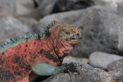 male marine iguana in mating colors (Espanola island)