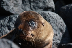 sleepy baby sea lion (Espanola island)