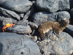baby sea lion about to get pinched (Espanola island)