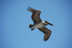 pelican in flight (South Plaza island)