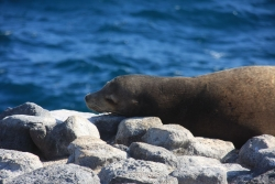 cute sea lion (this time on South Plaza island)