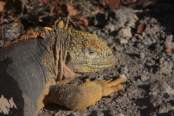 land iguana (South Plazas island)