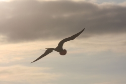 friggate bird in flight (North Seymore island)