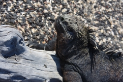 another iguana profile (Fernandina island)