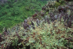 crater vegetation (Santa Cruz island)