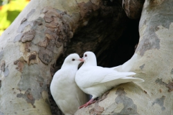 ... and the doves are in love